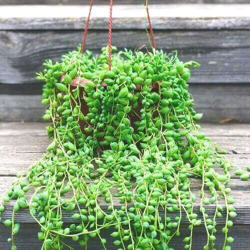 Best Indoor Hanging Plant 4 String of Pearls - Everything Abode