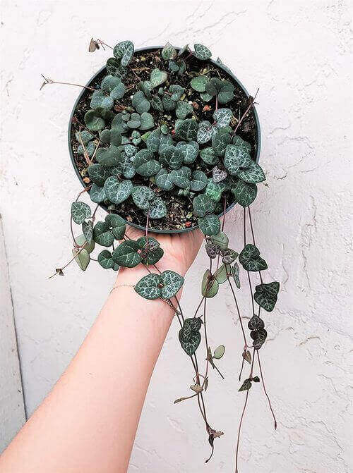 Best Indoor Hanging Plant 5 String of Hearts - Everything Abode