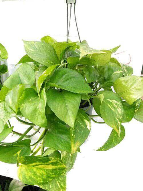 Best Indoor Hanging Plant 6 Devil's IvyPothos - Everything Abode