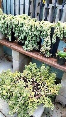 Best Indoor Hanging Plant Burro's Tail - Everything Abode