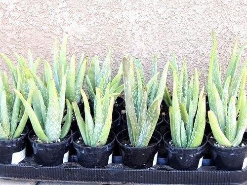 Indoor Hanging Plant Aloe Vera - Everything Abode