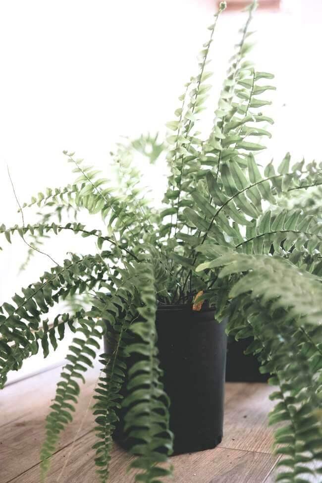 Boston Fern,best plant for restoring moisture