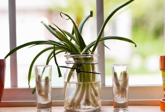 How to regrow Green Onions in a jar.