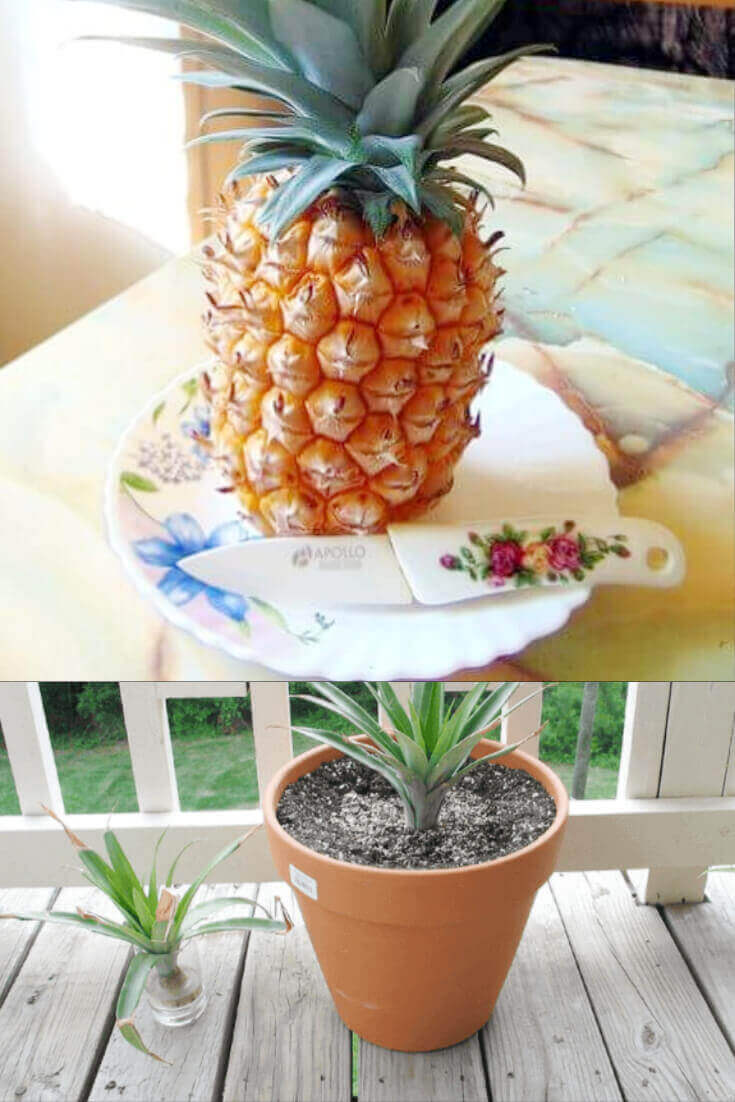 regrowing pineapple, how to regrow fruit from kitchen scraps, pineapple on table with knife, pineapple in pot of soil growing