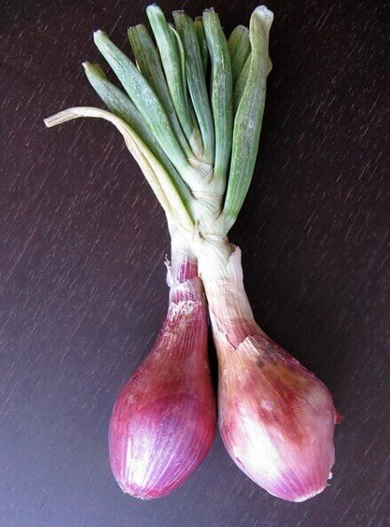 How to regrow Spring Onions in soil