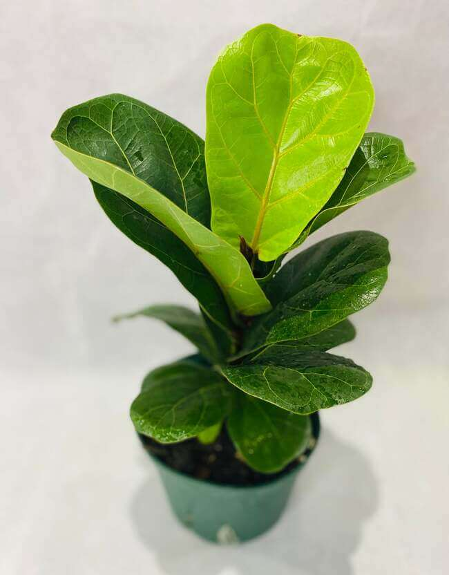 Fiddle Leaf Fig Plant perfect for the bathroom - bathroom plants - Everything Abode