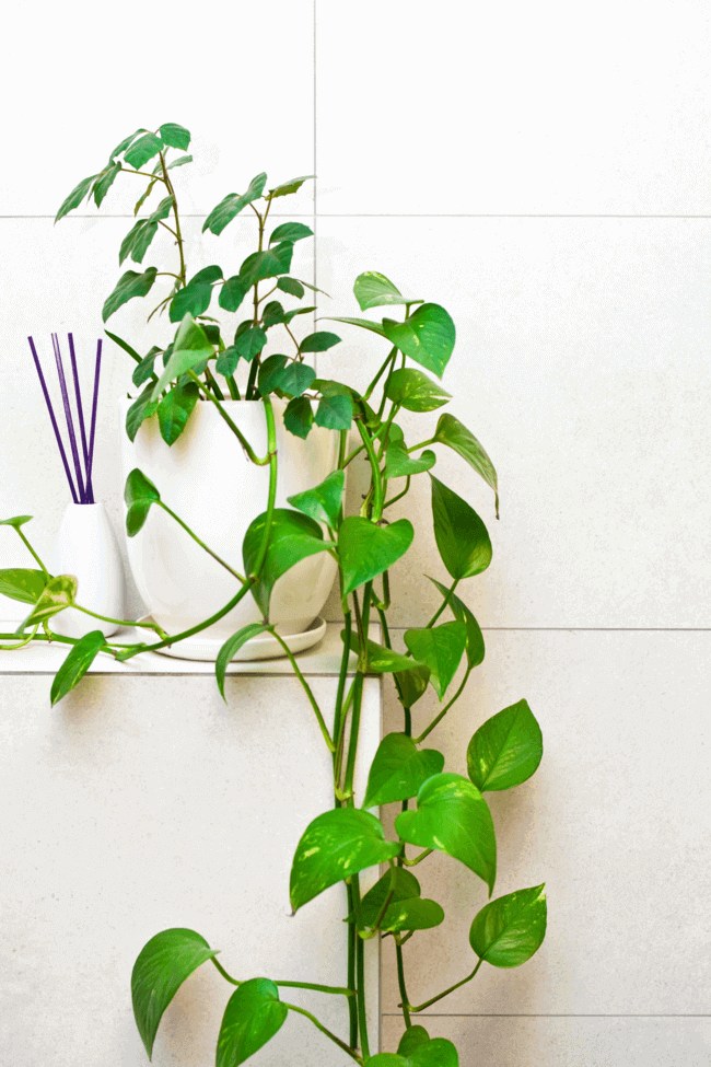 Houseplants for the Bathroom 14 Varieties That'll Love the Humidity - best plants for the bathroom - Everything Abode