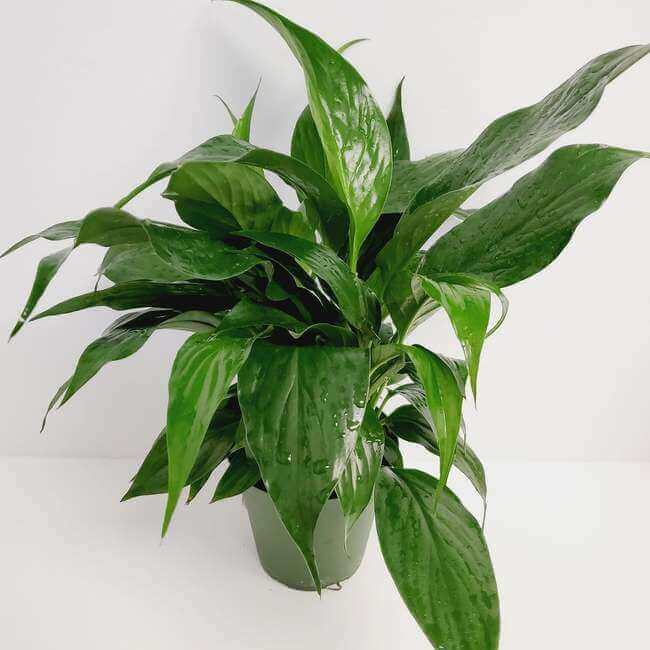 Peace Lily plant for your bathroom - Everything Abode