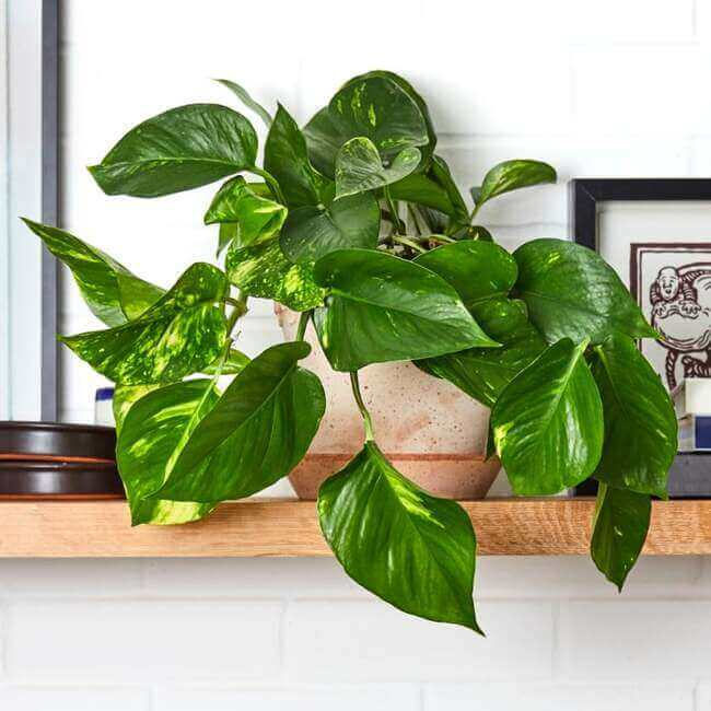 Pothos Plant perfect for the bathroom - bathroom plants - Everything Abode