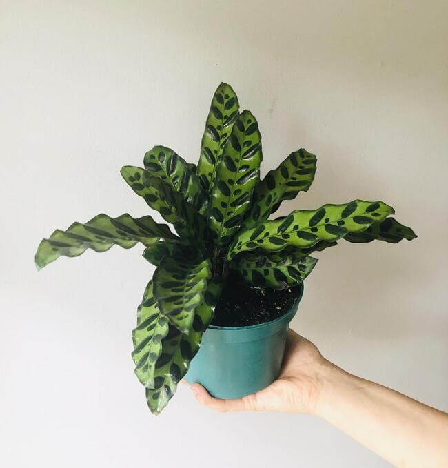 Rattlesnake Plant perfect for the bathroom - Everything Abode