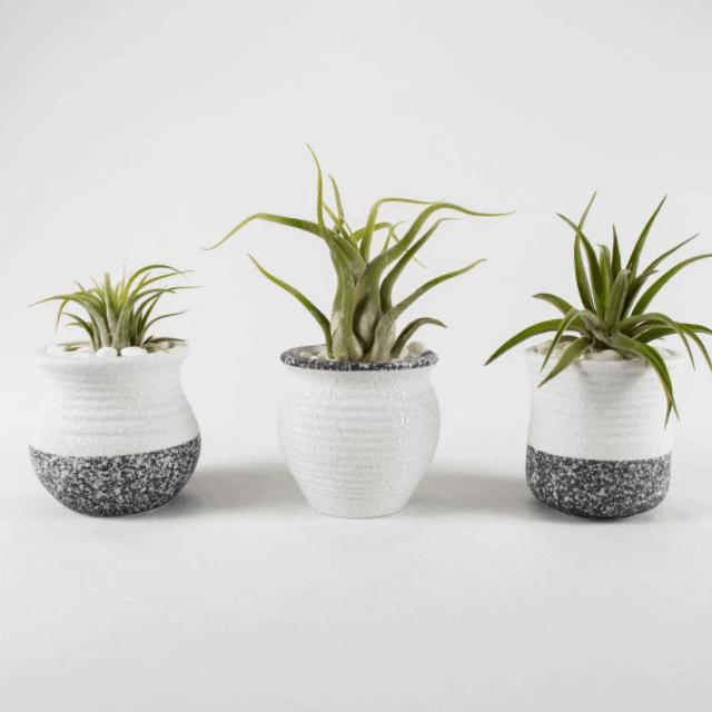 Tillandsia - bathroom plants that love moisture - Everything Abode