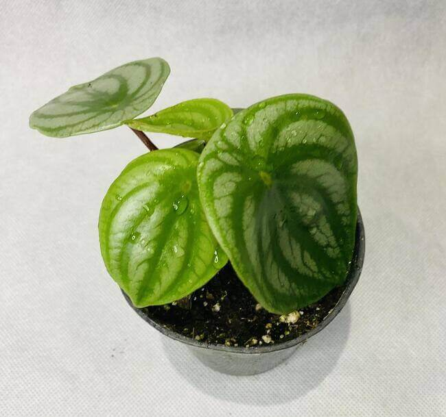 Watermelon Peperomia Plants for the bathroom - unique bathroom plants - Everything Abode