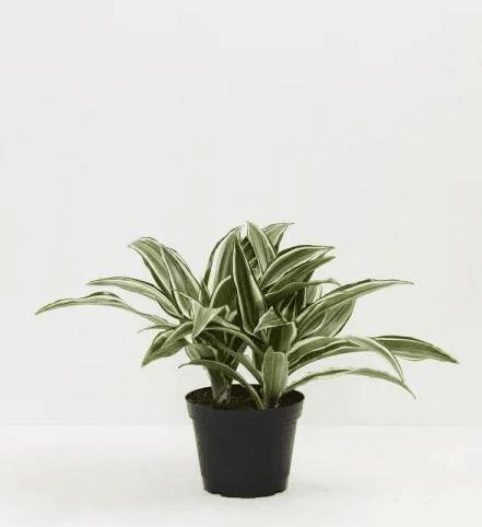 dragon plant for bathroom (1) (1)